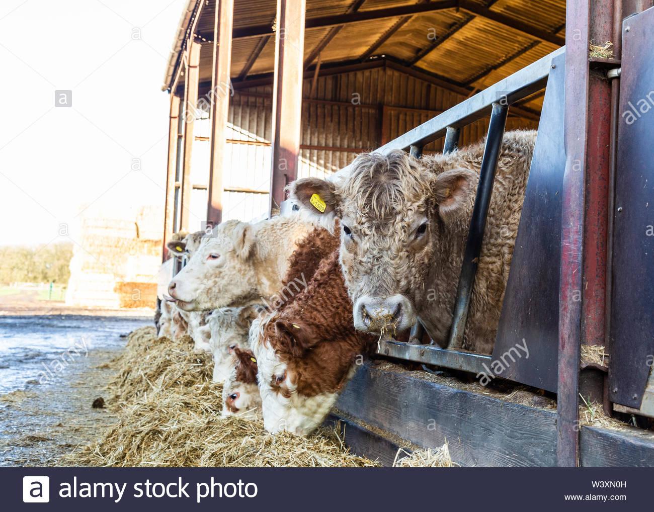 Cattle at Warwickshire Farm UK - Stock Image