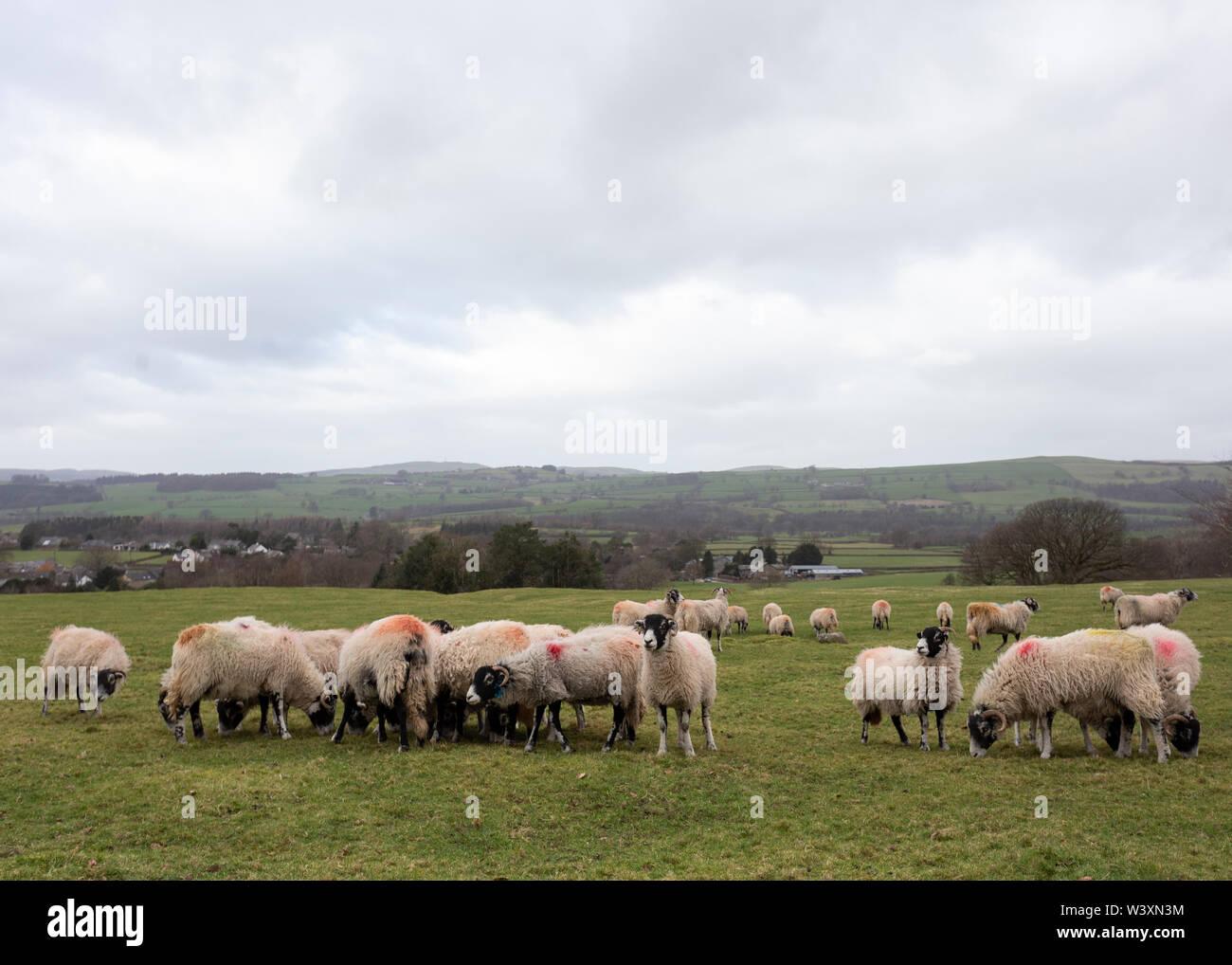 Sheep on Lancashire Farm UK - Stock Image