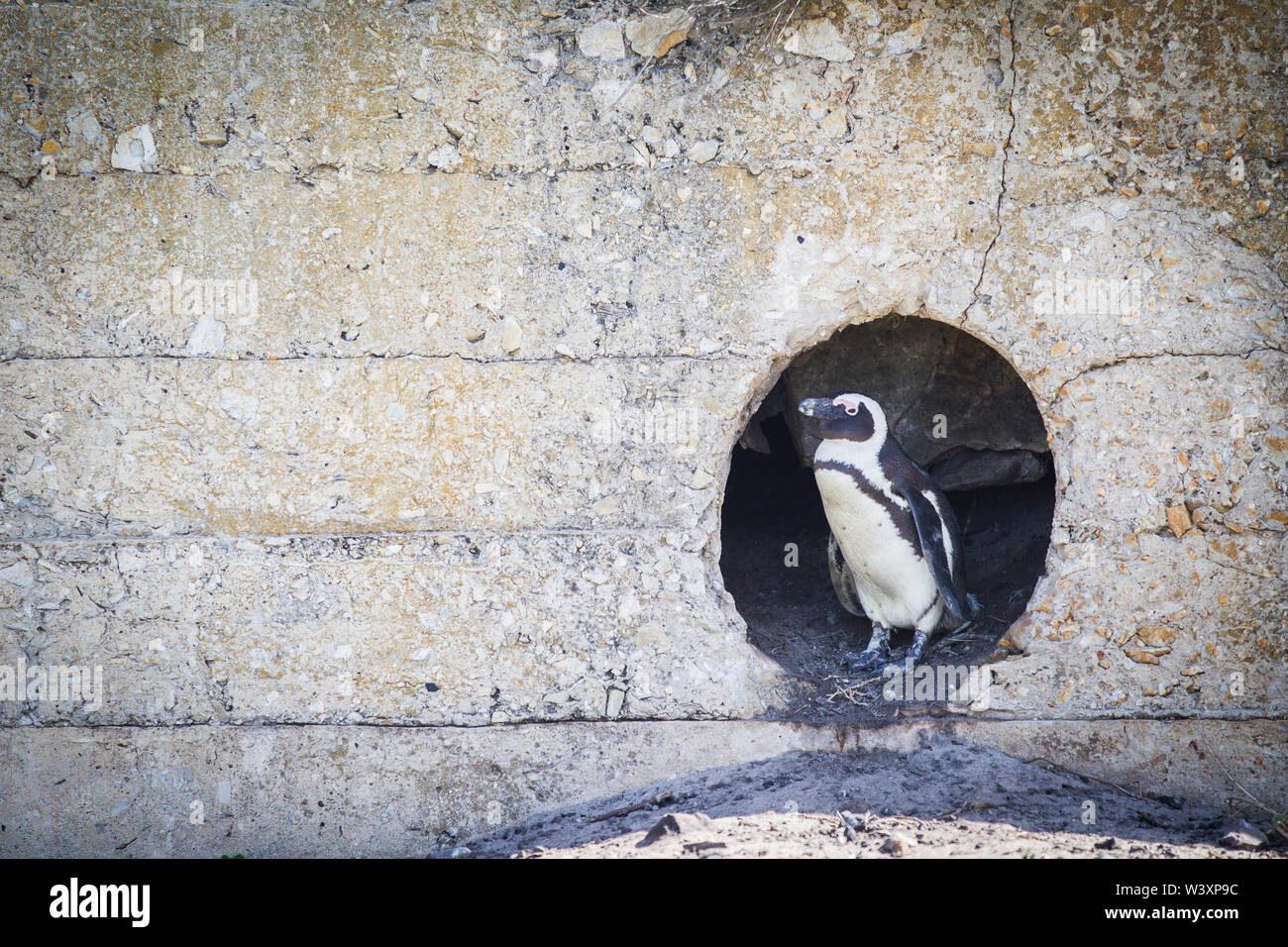 Stony Point is one of few thriving mainland colonies for endangered African penguin, Spheniscus demersus, Betty's Bay, Western Cape, South Africa. - Stock Image
