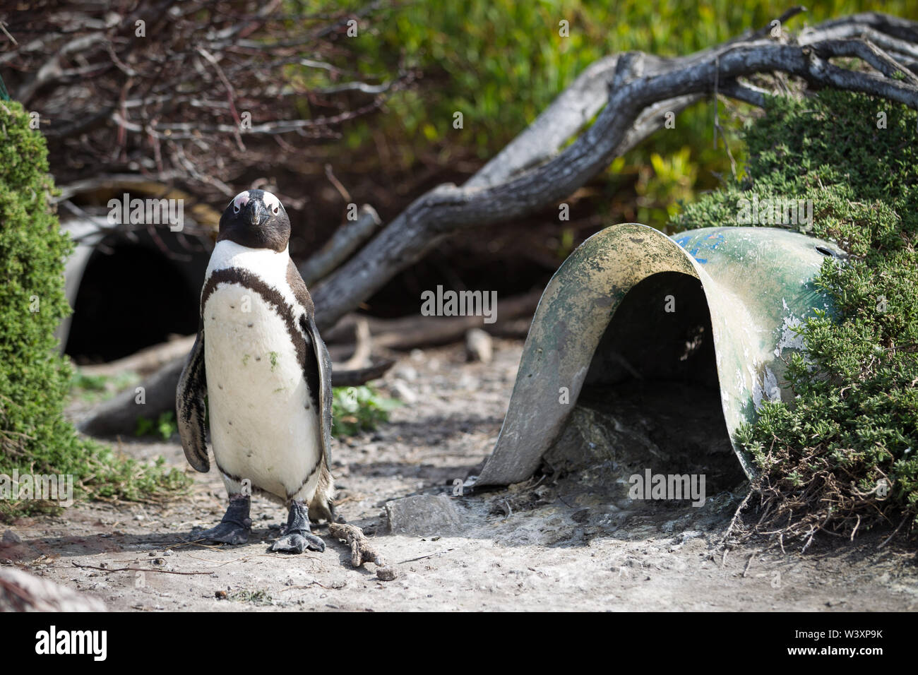 Stony Point is one of few thriving mainland colonies for endangered African penguin, Spheniscus demersus, Betty's Bay, Western Cape, South Africa. Art - Stock Image