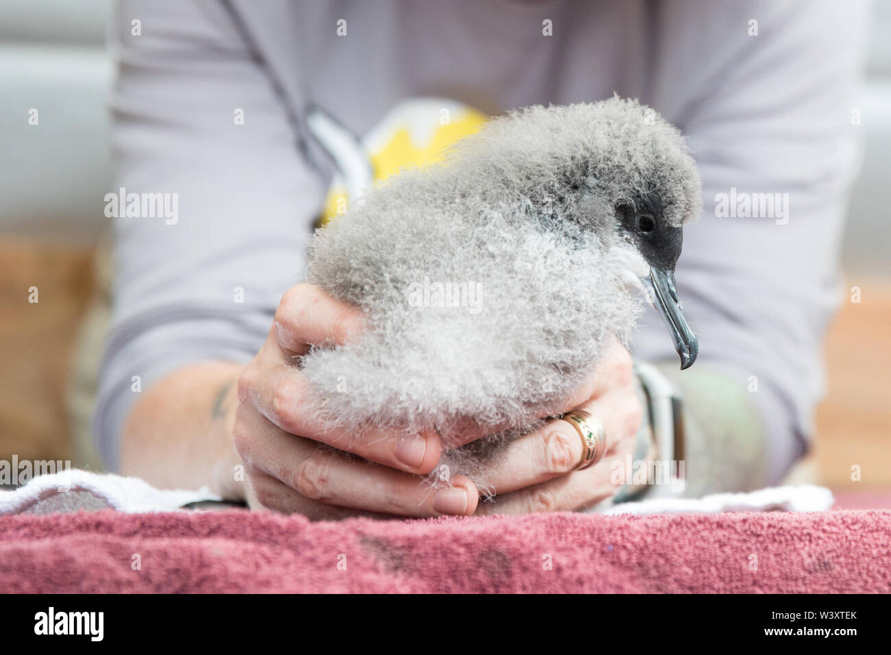 Conservationists start a new colony of critically endangered Newell's Shearwater, Puffinus newelli, at Kilauea Point National Wildlife Refuge, Kauai. - Stock Image