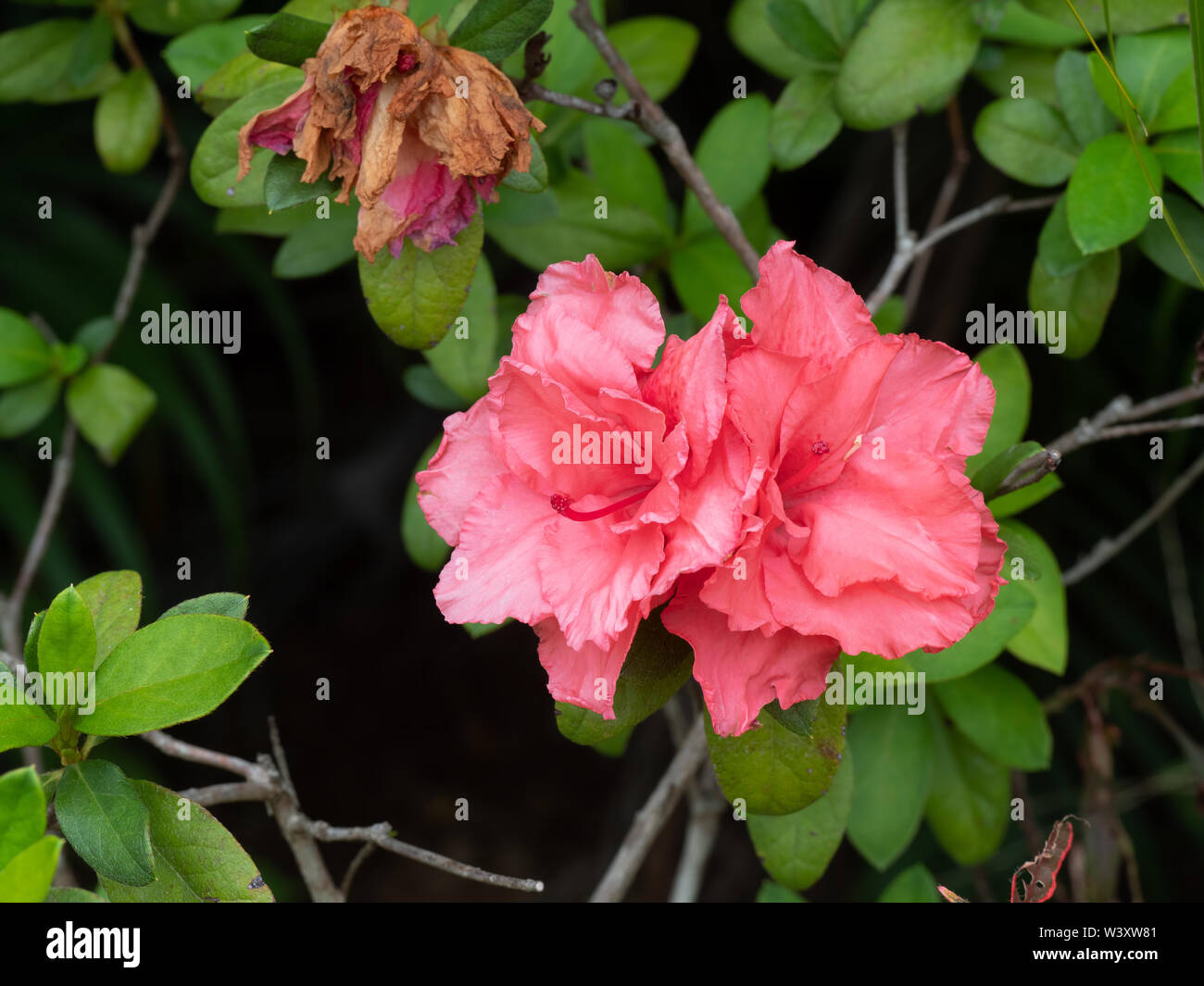 Closeup Pink Azalea Flowers With Wilted Flowers And Green Leaves Stock Photo Alamy