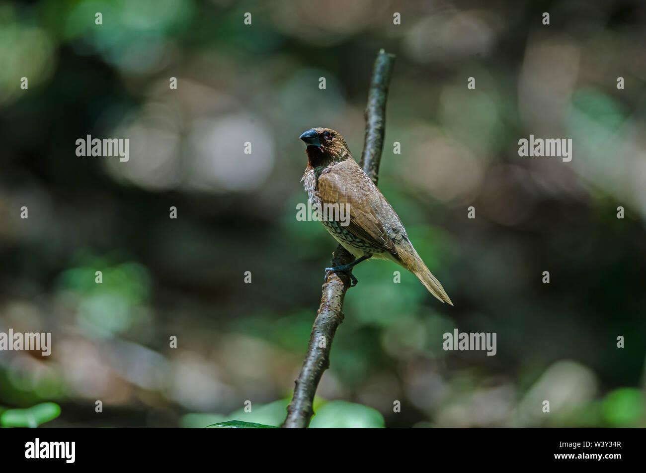 Scaly-breasted Munia (Lonchura punctulata) in nature, Thailand - Stock Image