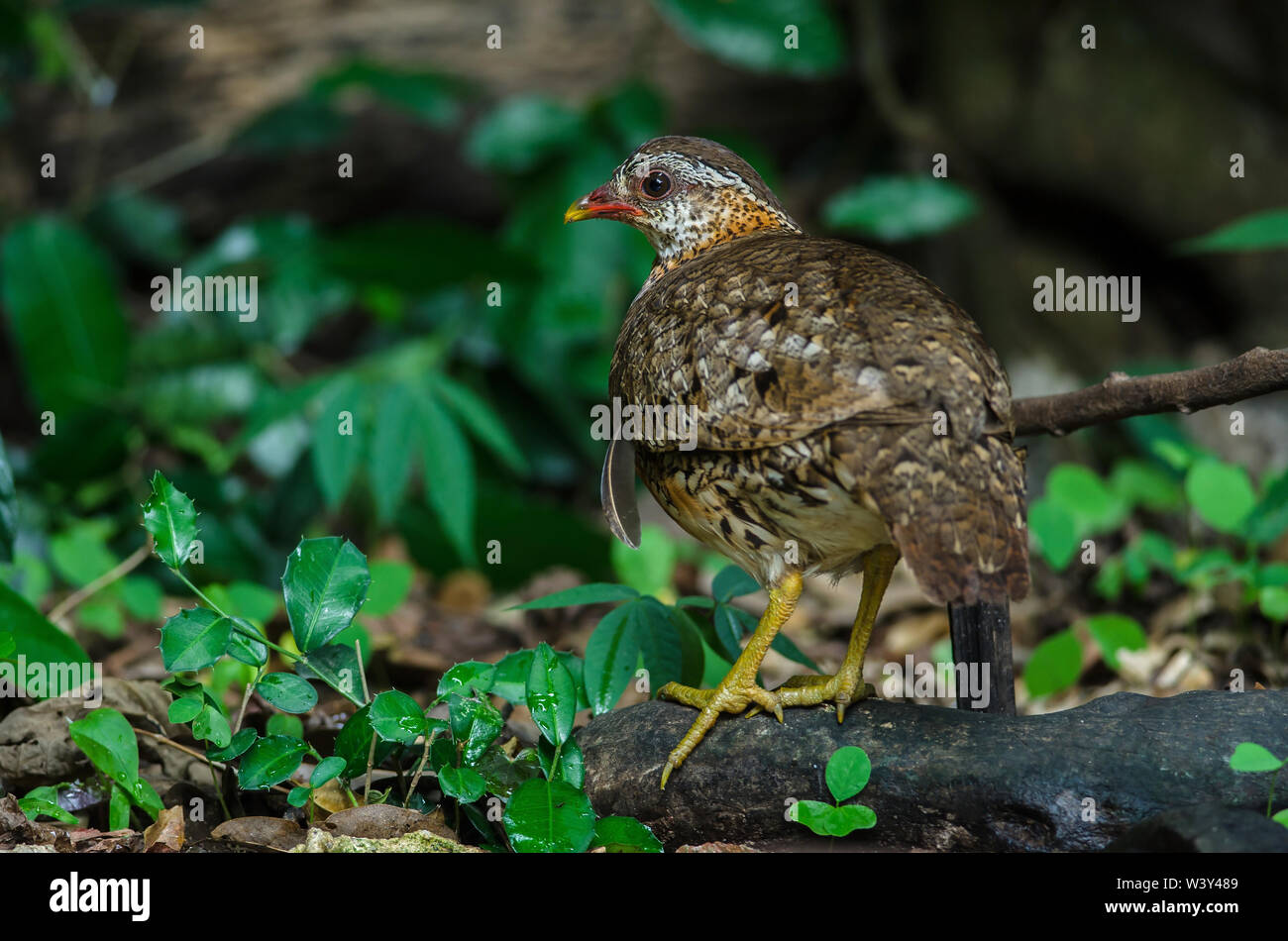 Green-legged partridge, Scaly-breasted partridge, Green-legged hill in nature, Thailand - Stock Image