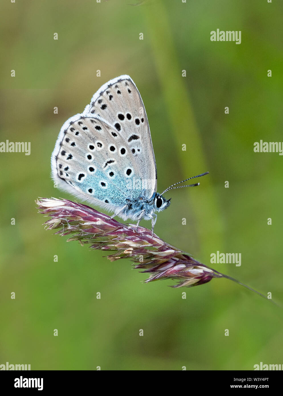 Large blue butterfly Maculinea arion showing underwings when at rest - Collard Hill in the Polden Hills Somerset UK Stock Photo