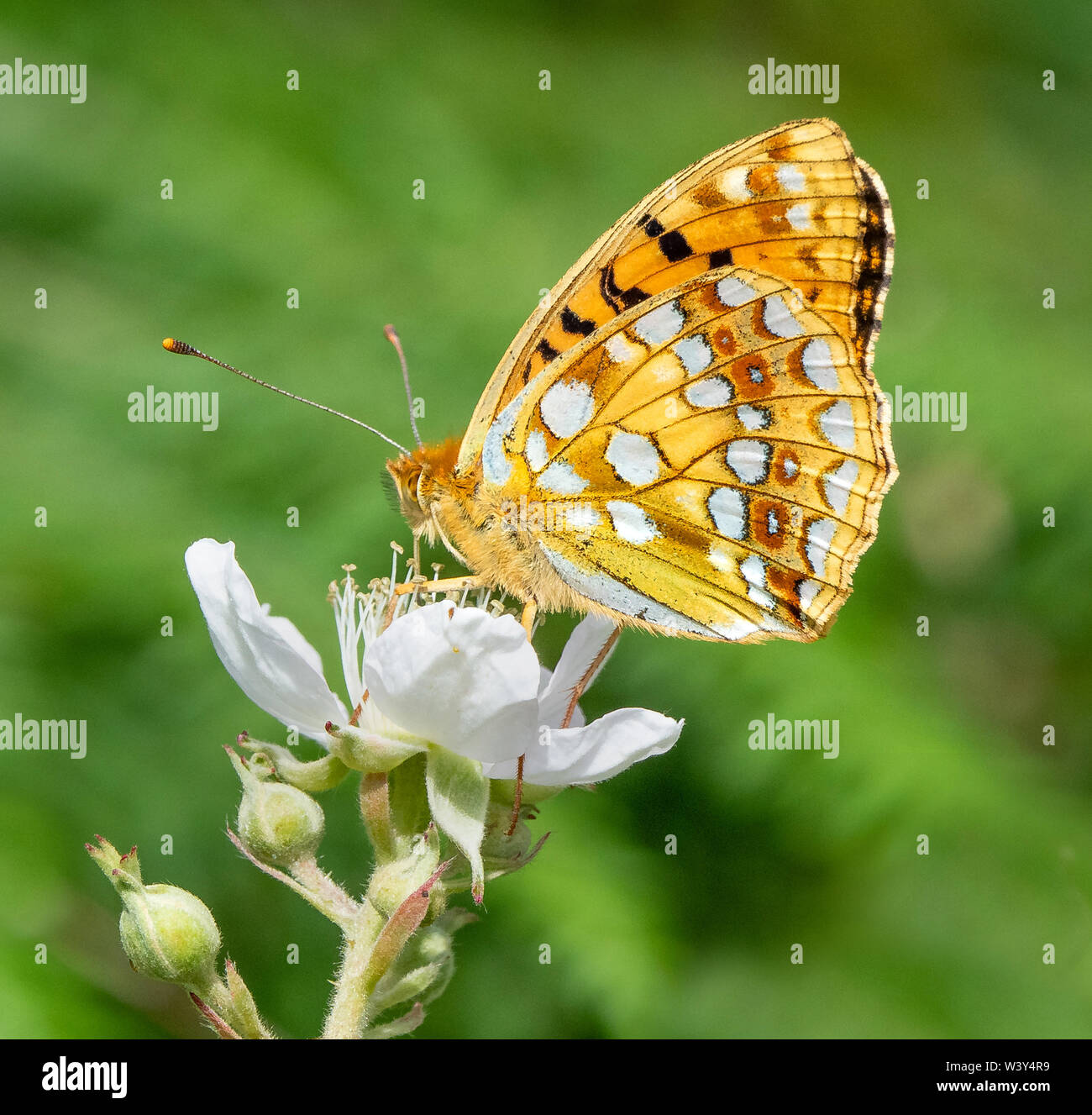 High brown fritillary Argynnis adippe on bramble at Heddon Valley on the North Devon coast UK showing characteristic russet ringed spots on hindwing - Stock Image