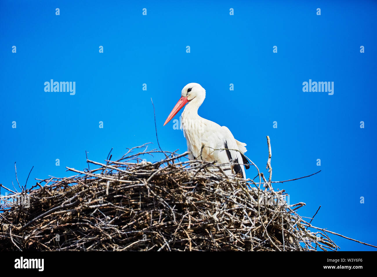 A stork in its nest - Stock Image