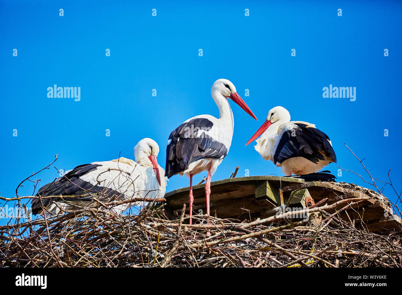 Three storks in a nest - Stock Image