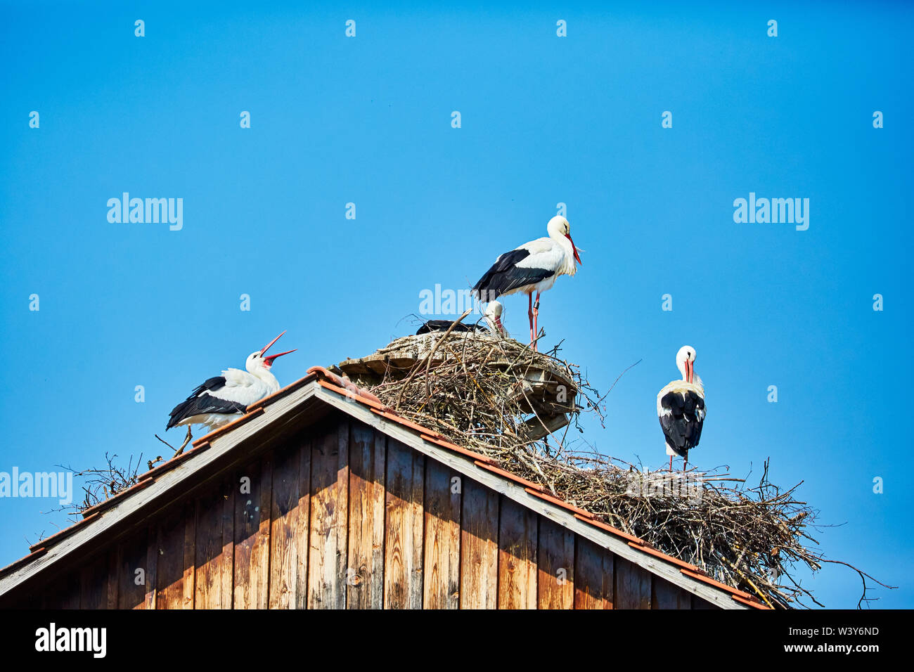 Stork nests with storks on a roof - Stock Image
