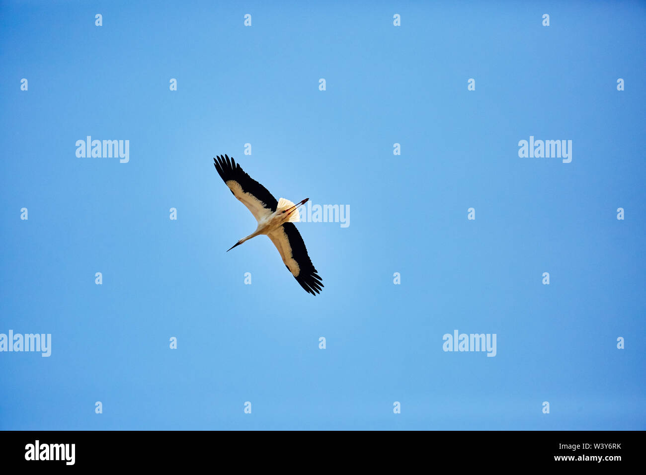 A flying stork in the blue sky - Stock Image