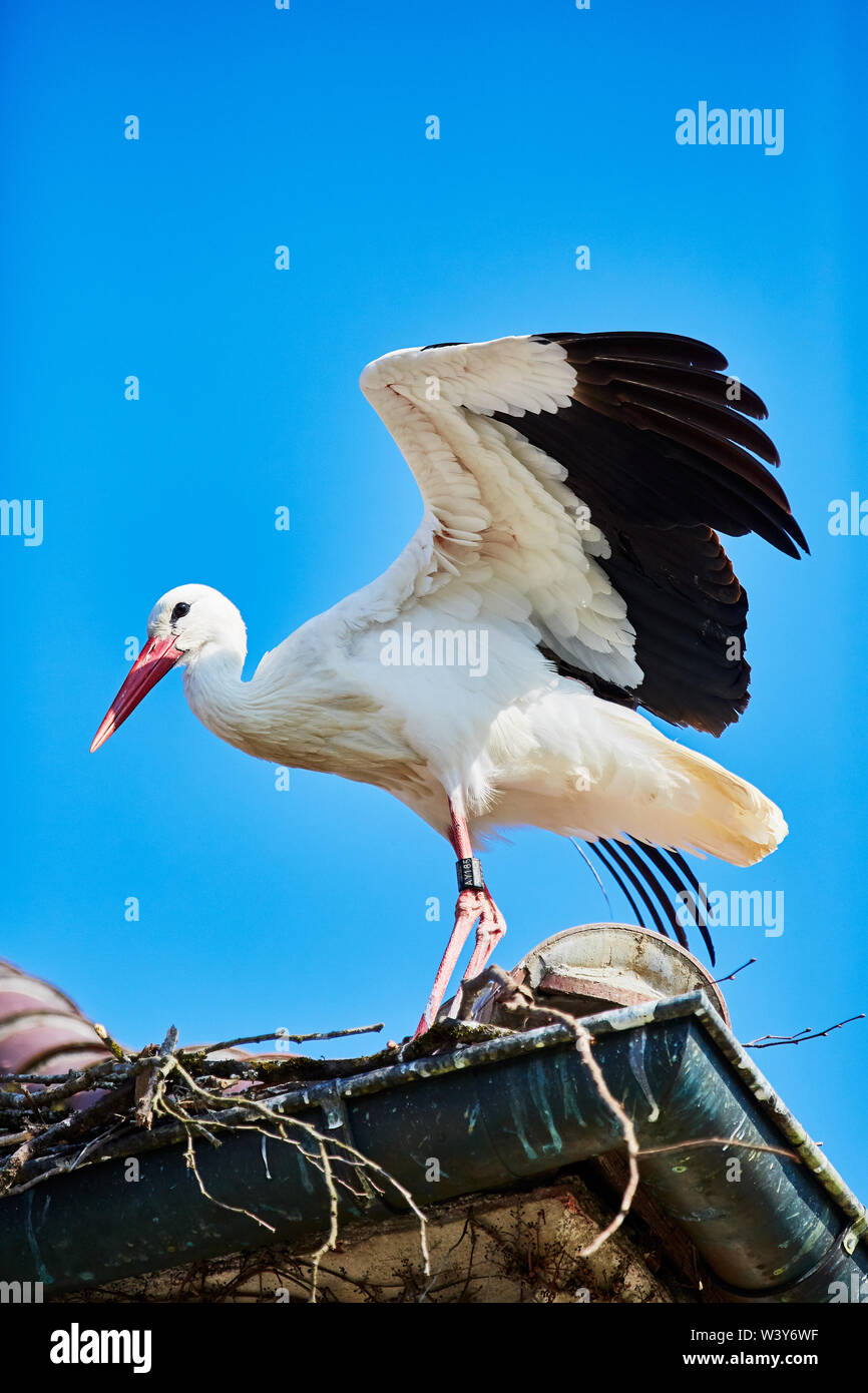 A Stork flutters its wings - Stock Image