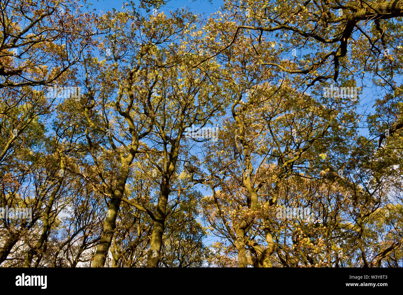 Vertical shot of treetops in bright sunshine and a bright blue sky in Endcliffe Park, Sheffield Stock Photo