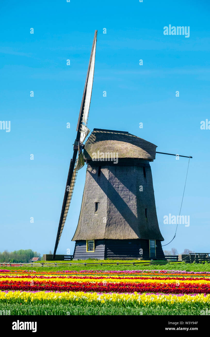 Netherlands, North Holland, Schermerhorn. Windmill, polder mill from Schermerhorn group, with colorful tulip field in early spring. - Stock Image