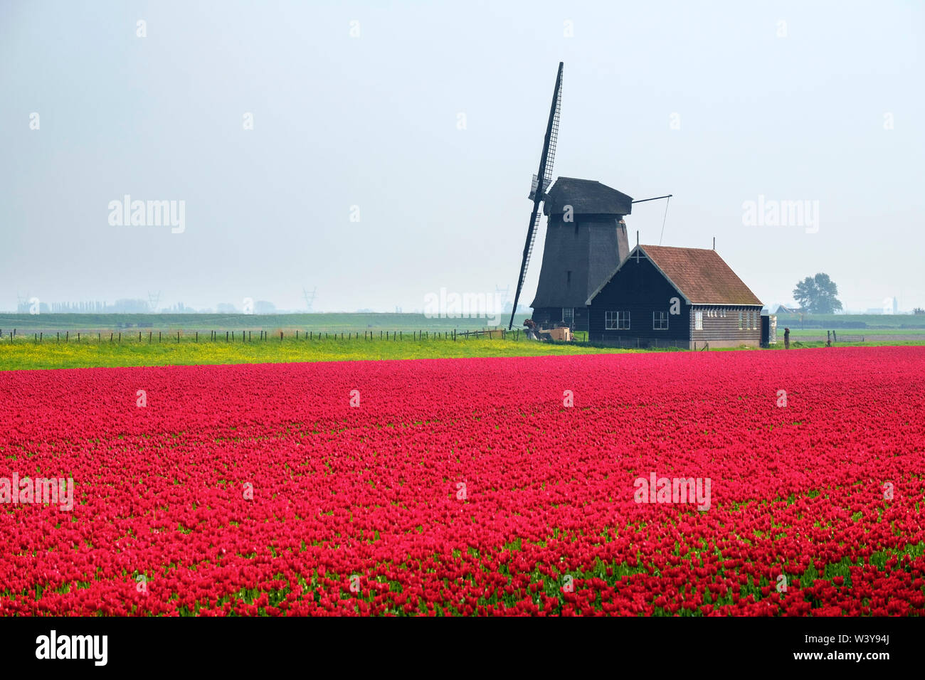 Windmill and red tulip fields in spring near village of Schermerhorn, North Holland, Netherlands - Stock Image