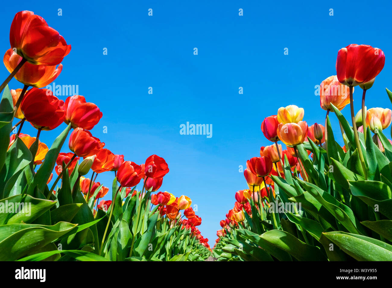 Netherlands, North Holland, Callantsoog. Multicolored tulip flowers against a blue sky, near the village of Zipje. - Stock Image