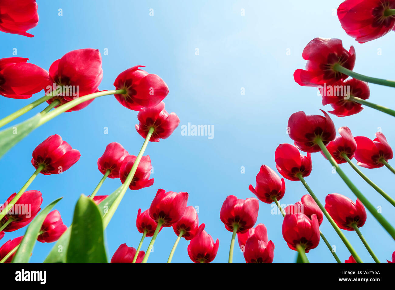 Looking up at tulip blossoms against blue sunny sky, Ursem, North Holland, Netherlands - Stock Image
