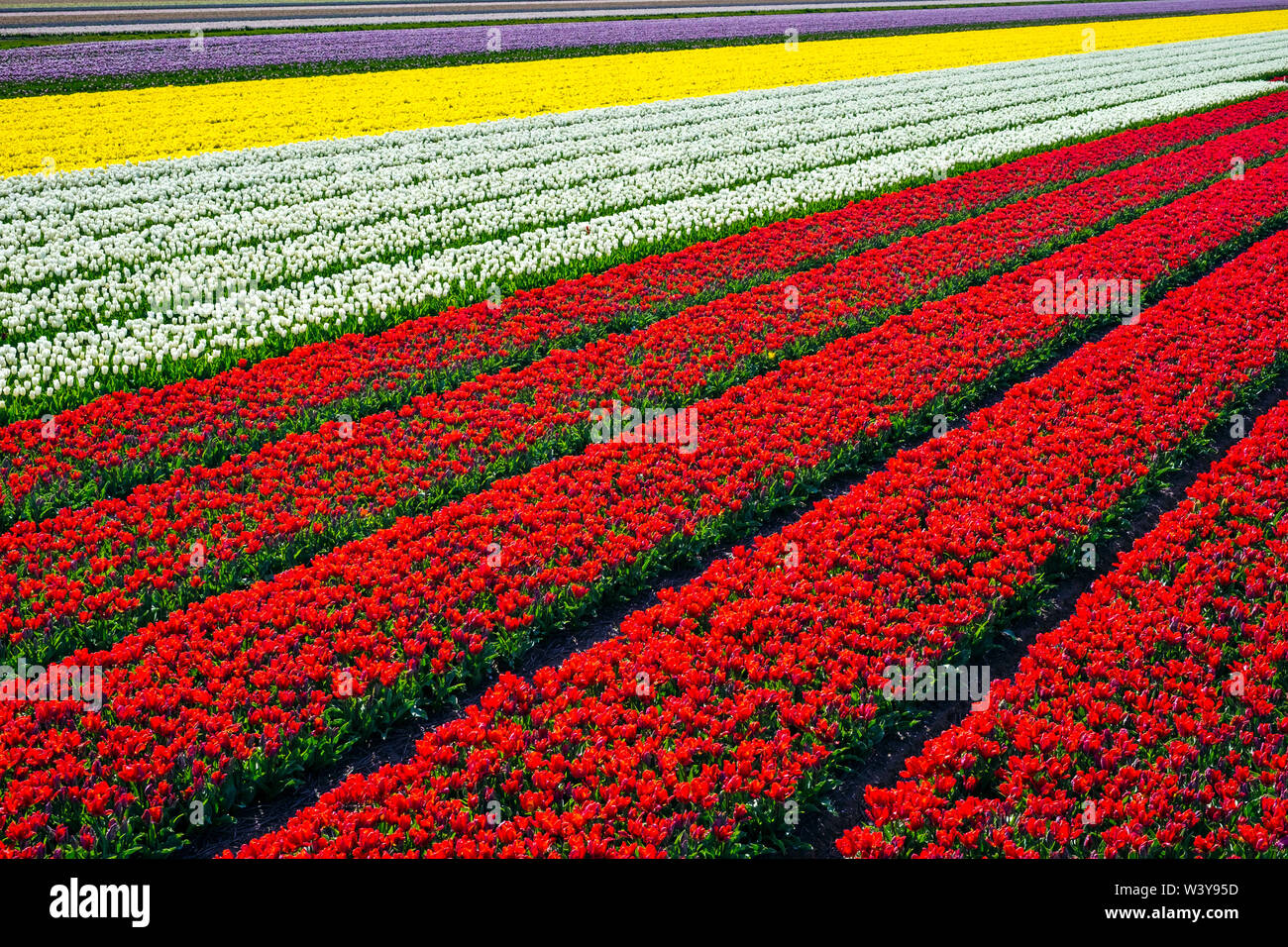 Netherlands, North Holland, Burgerbrug. Bright red tulip field in spring. - Stock Image