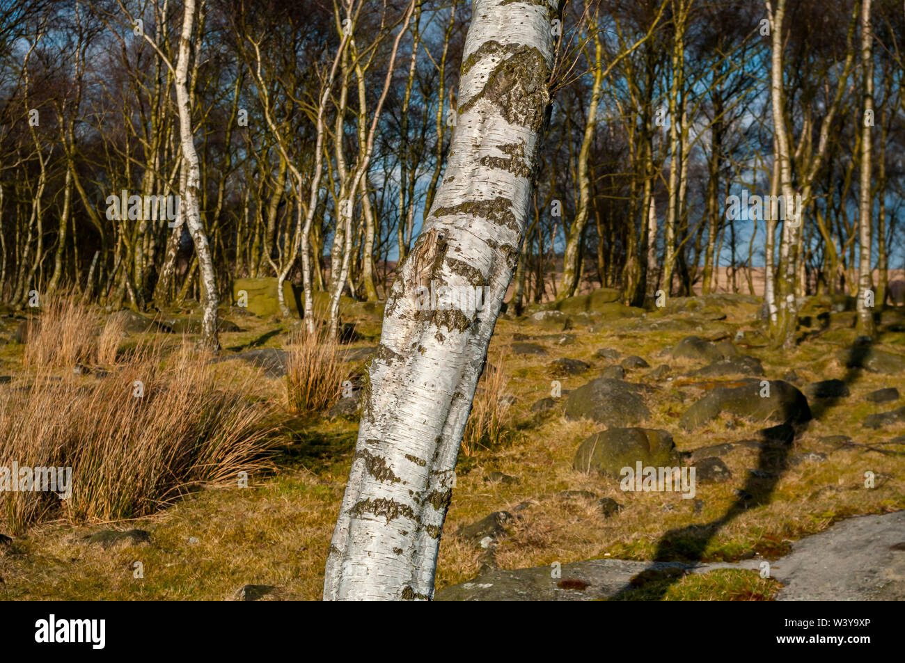 Silver Birch trees in bright sunshine at Gardom's Edge, near Baslow, Derbyshire Stock Photo