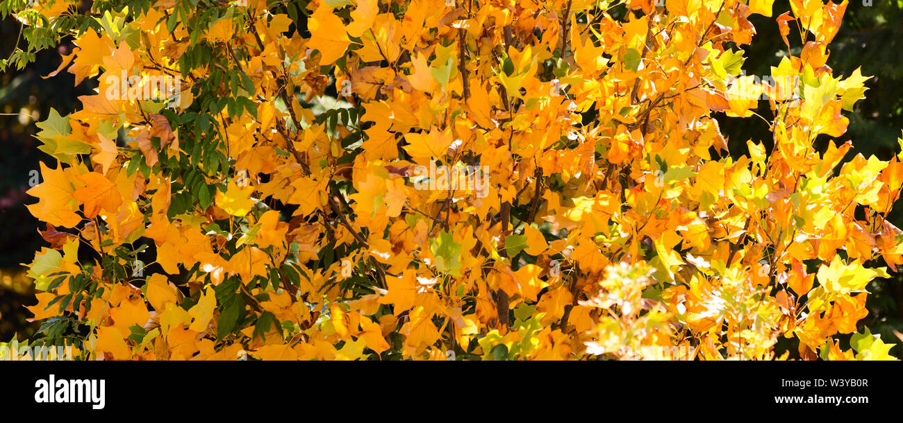 yellow golden decorative autumn leafs fall panoramic background - Stock Image