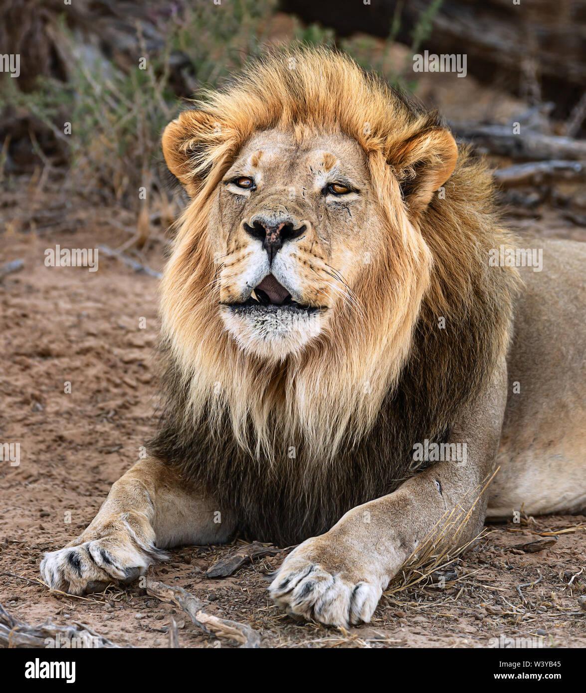 Roaring Lion Head Stock Photos & Roaring Lion Head Stock
