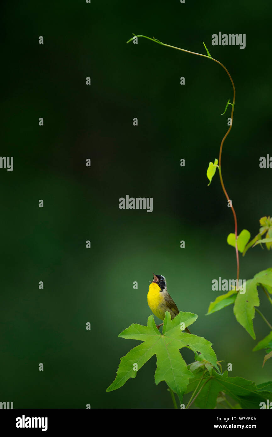A Common Yellowthroat perched on a large leaf sings out loudly with a smooth green background. Stock Photo