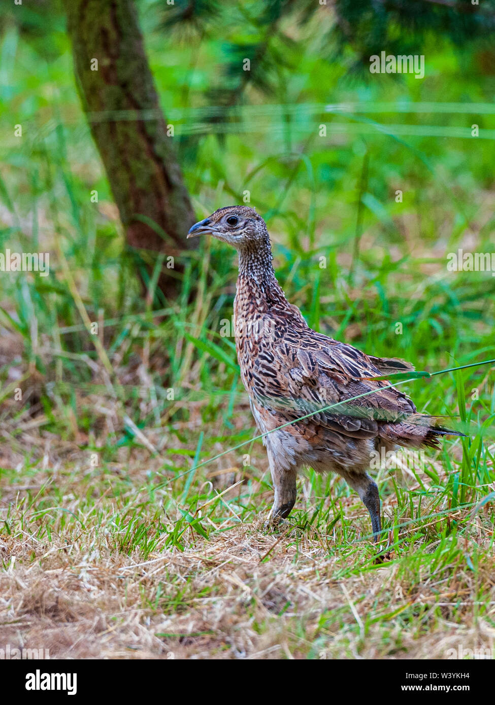 Seven week old young pheasants, often called poults, which have just been released into a gamekeeper's release pen on a shooting estate - Stock Image