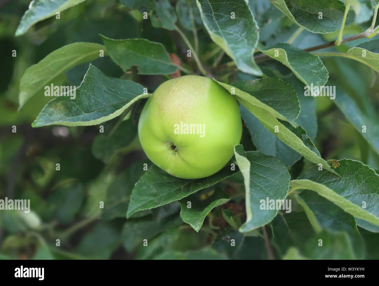 Green apple on the tree - Stock Image