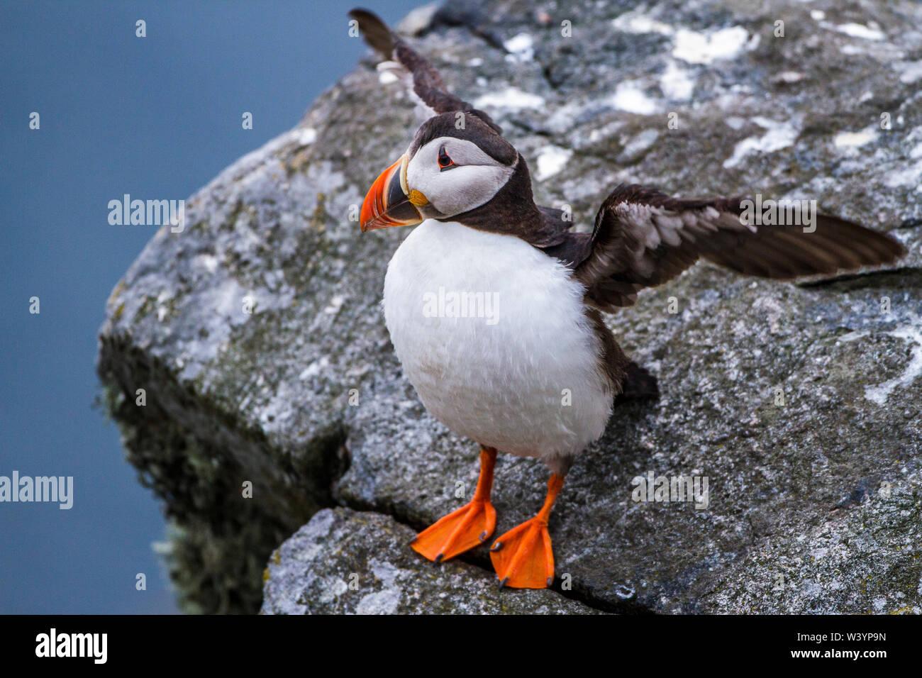 Atlantic puffin, Papageitaucher (Fratercula arctica) Stock Photo