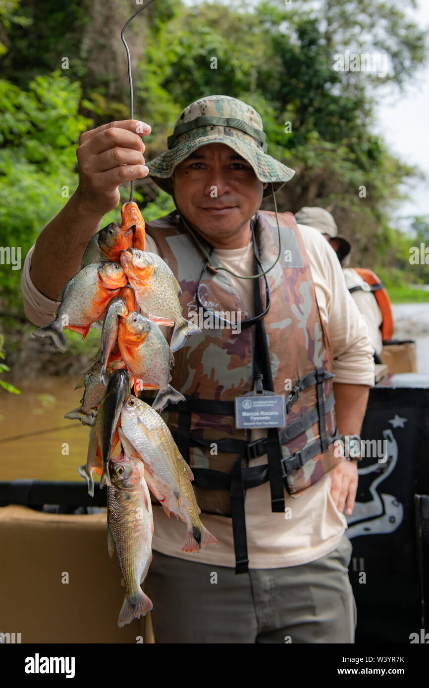 Crewmember of Zafiro on the Peruvian Amazon displays catch of Piranha (Characiformes)caught by guests in skiff. Stock Photo
