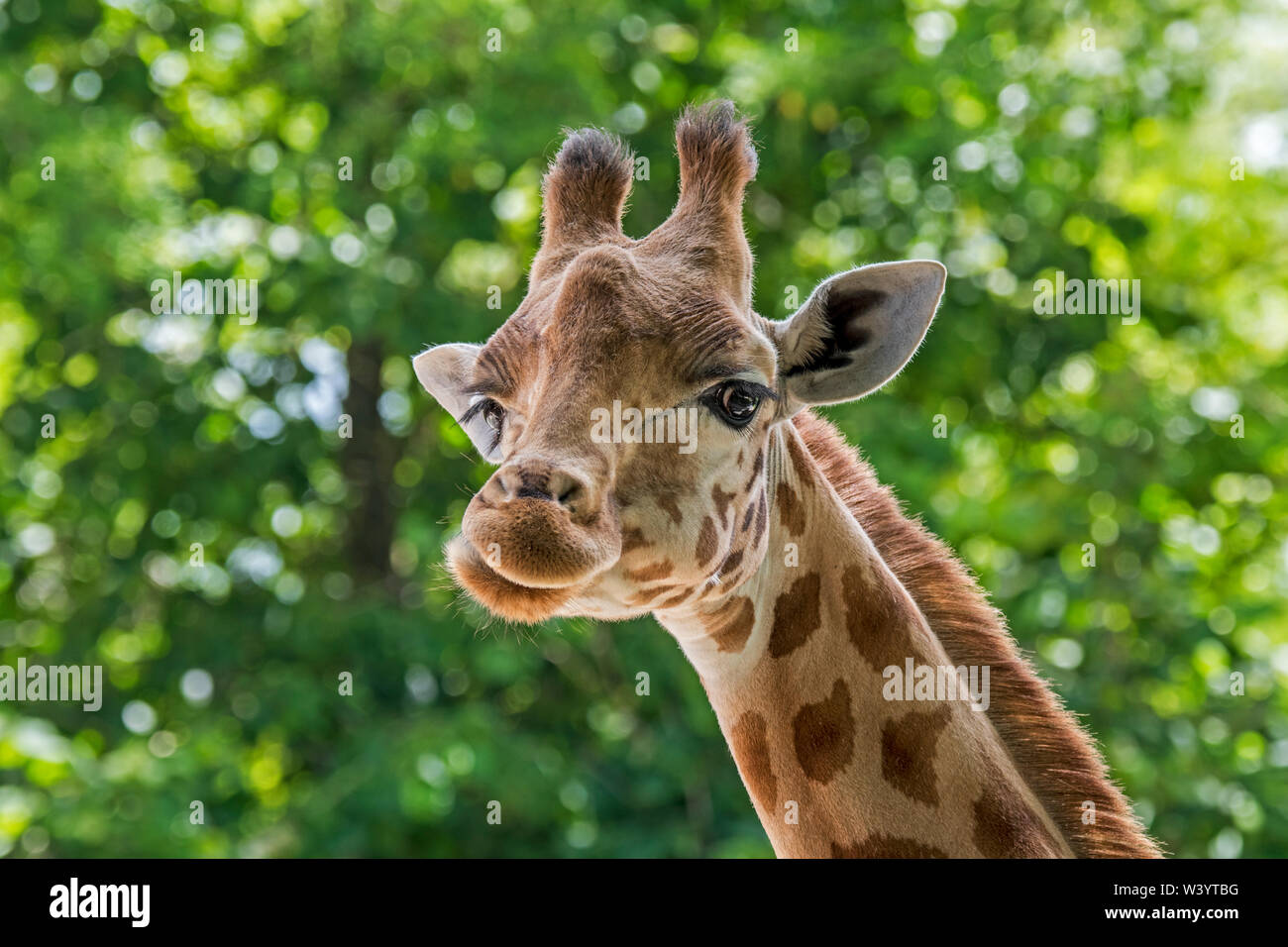 Kordofan giraffe (Giraffa camelopardalis antiquorum) close-up of head, native to Cameroon, Chad, Central African and Sudan - Stock Image