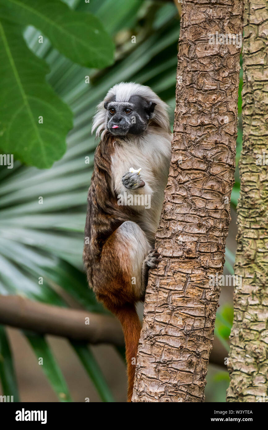 Cotton-top tamarin / cotton-headed tamarin / crested tamarin (Saguinus oedipus) native to tropical forests in northwestern Colombia, South America - Stock Image