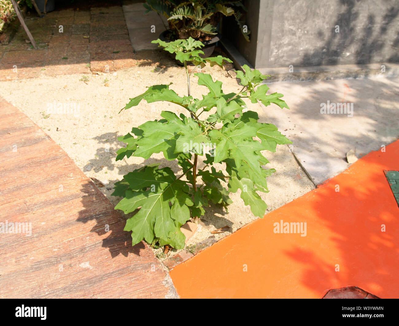 The Solanum torvum is growing Beside the walkway - Stock Image