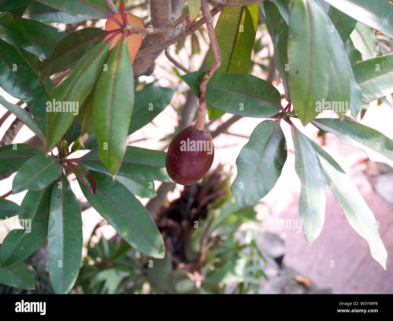 Reddish brown lace On the tree - Stock Image
