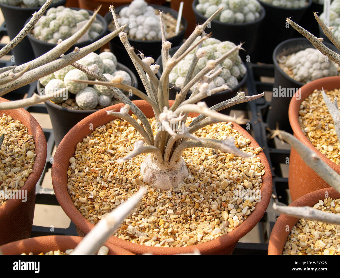 Small trees that grow out of shoots that are in brown plant pots and have small stones in plant pots - Stock Image