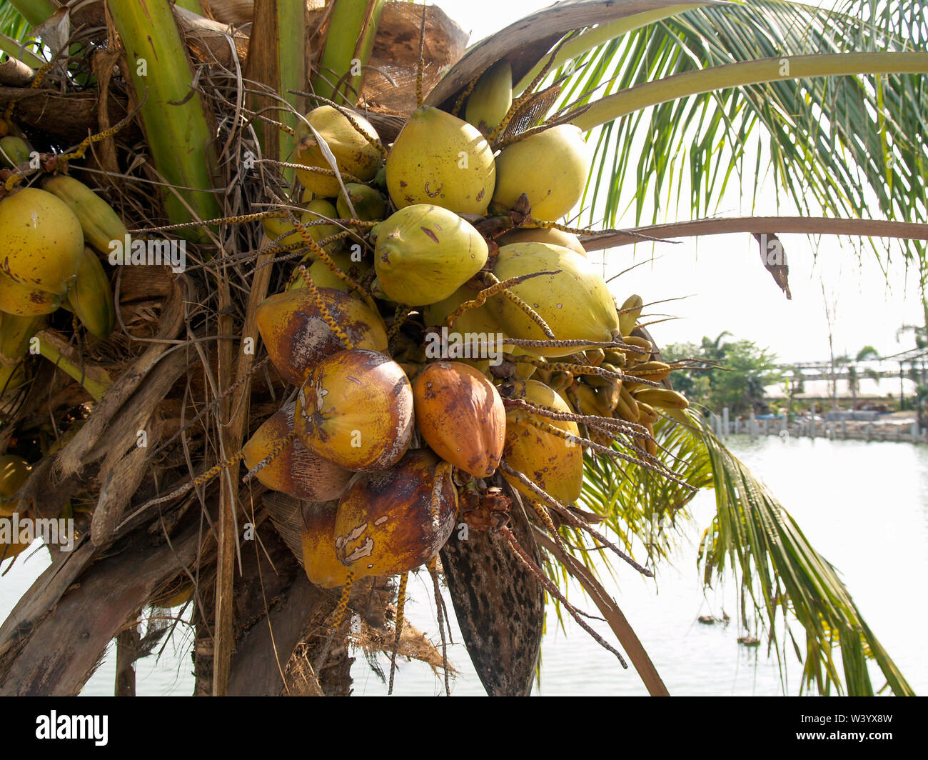 Coconut trees that are fruiting and have a pool background - Stock Image