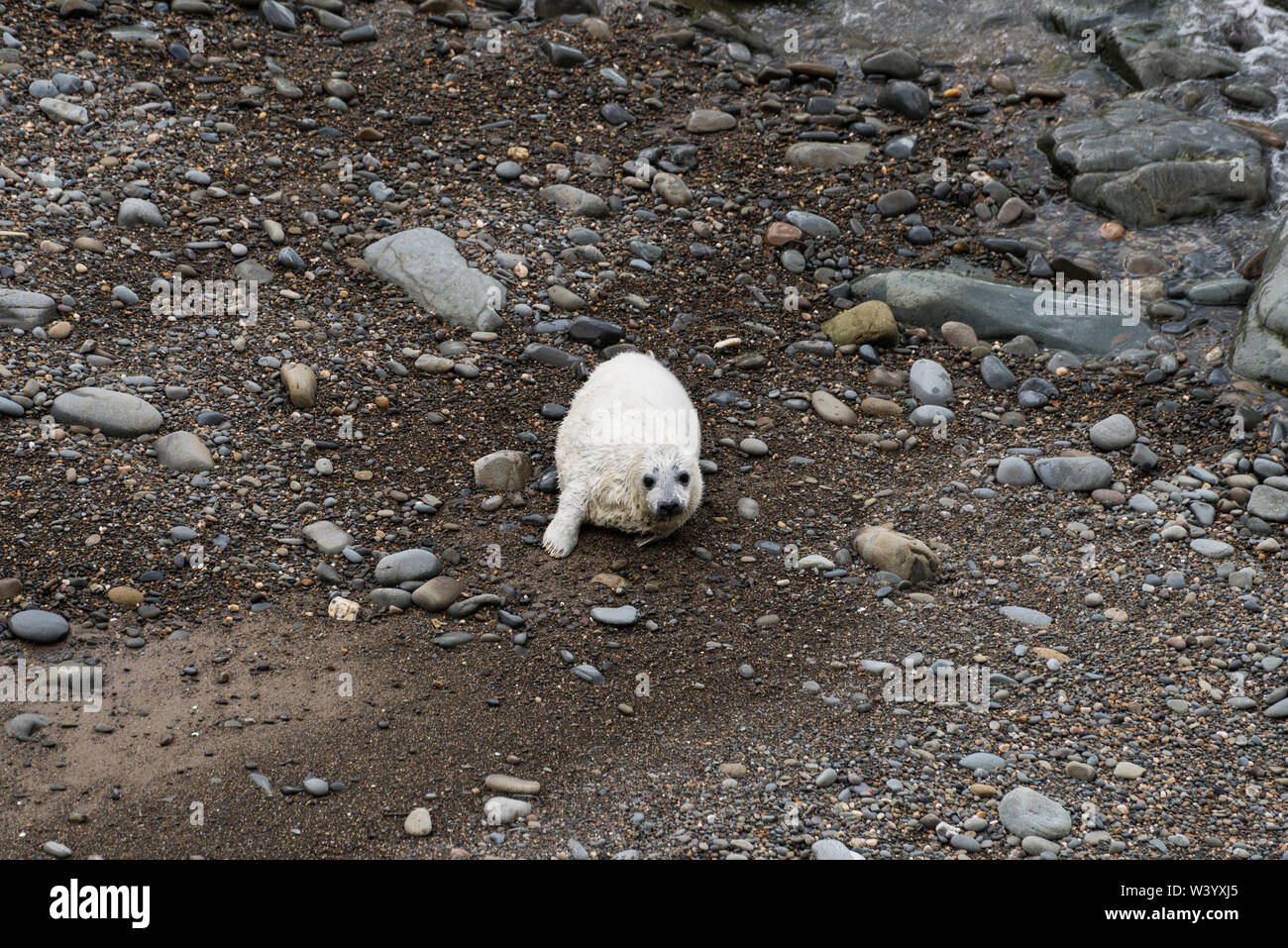 Young seal pup on the beach, West Wales, Horizontal Stock Photo