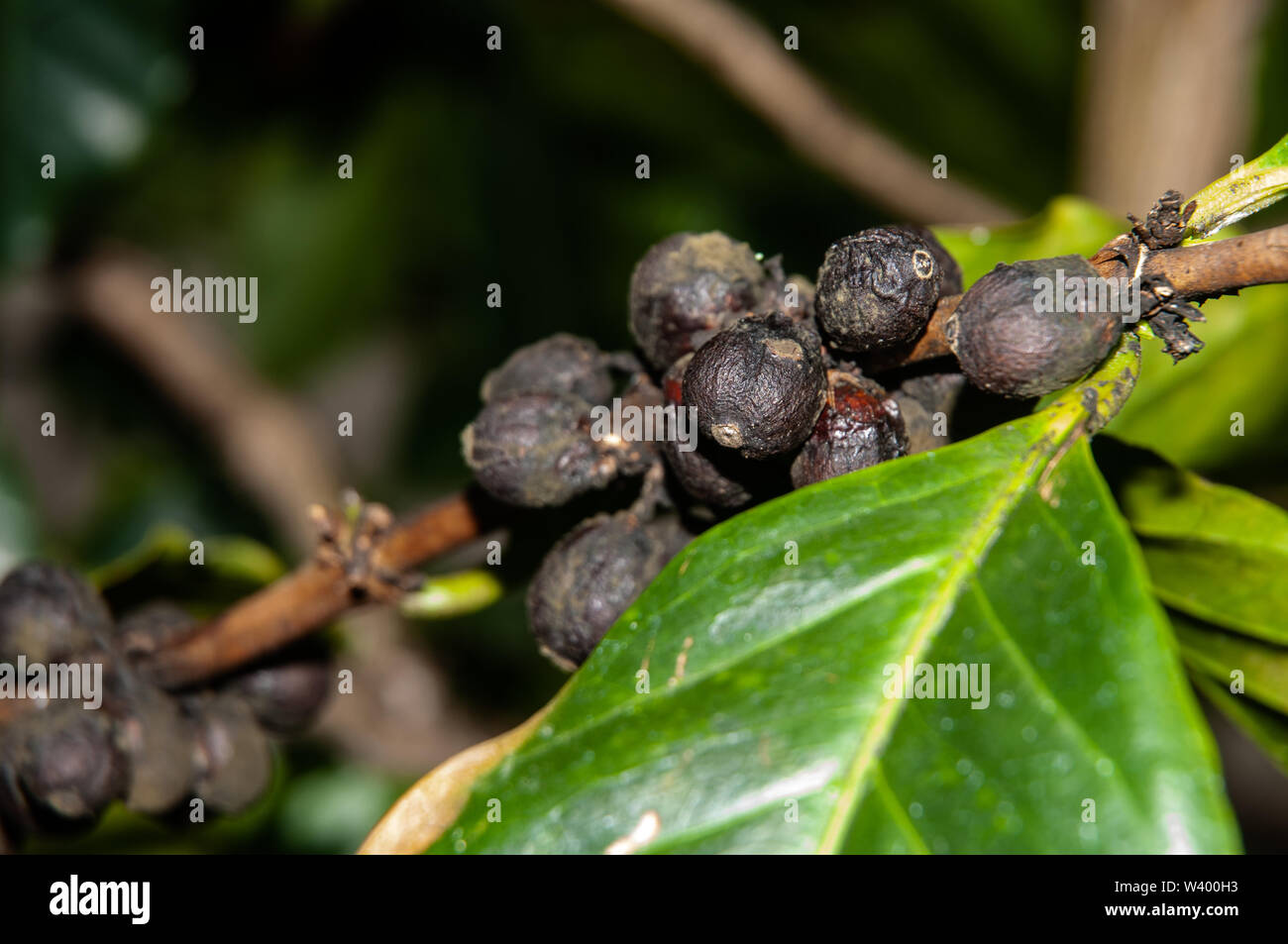 extreme close-up of ripe coffee fruits at twig of a coffea shrub - Stock Image