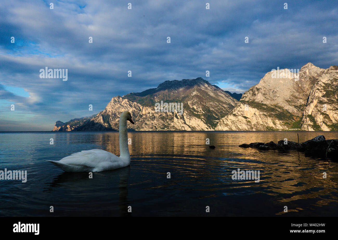 Swan at north beach on sunrise at Lago di Garda, Lake Garda in Torbole - Nago, Riva, Trentino , Italy at April 15, 2019. © Peter Schatz / Alamy Stock - Stock Image