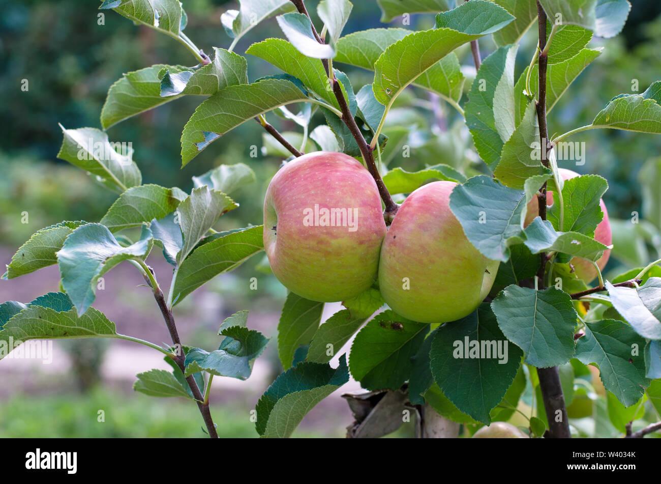 apple fruit in apple tree branch - Stock Image