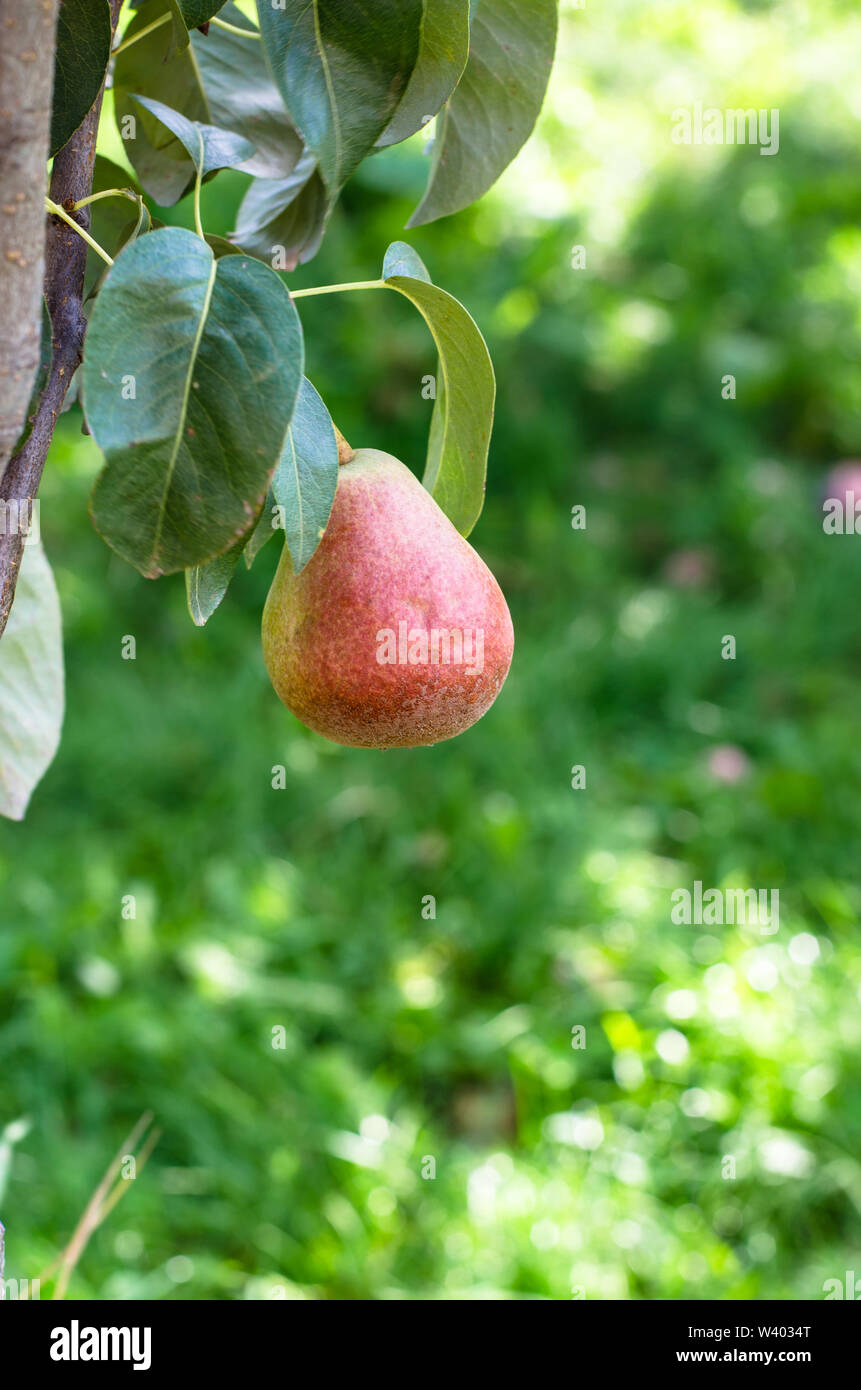 pear fruit in pear tree branch - Stock Image