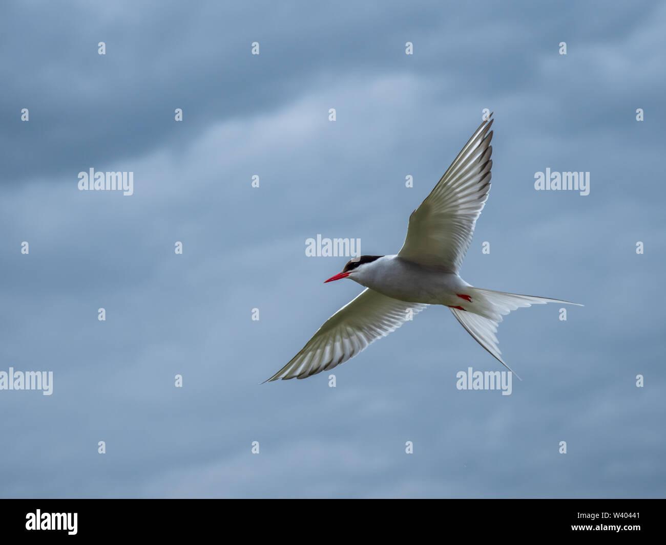 Atlantic tern in flight. ( Sterna paradisaea ) - Stock Image