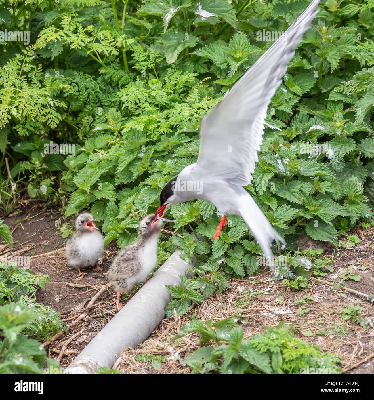 Atlantic tern in flight feeding chick - Stock Image