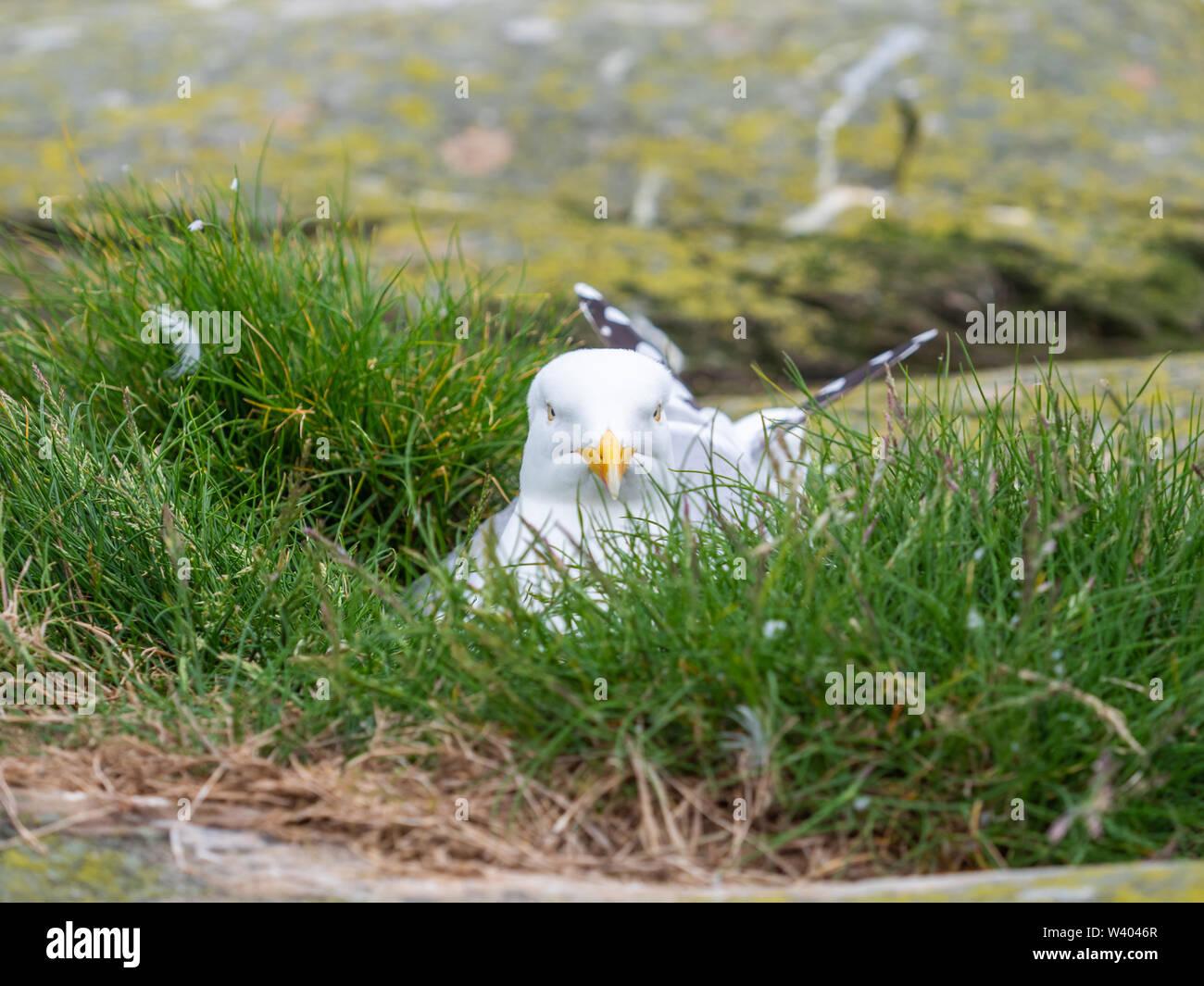 European herring gull (Larus argentatus) - Stock Image