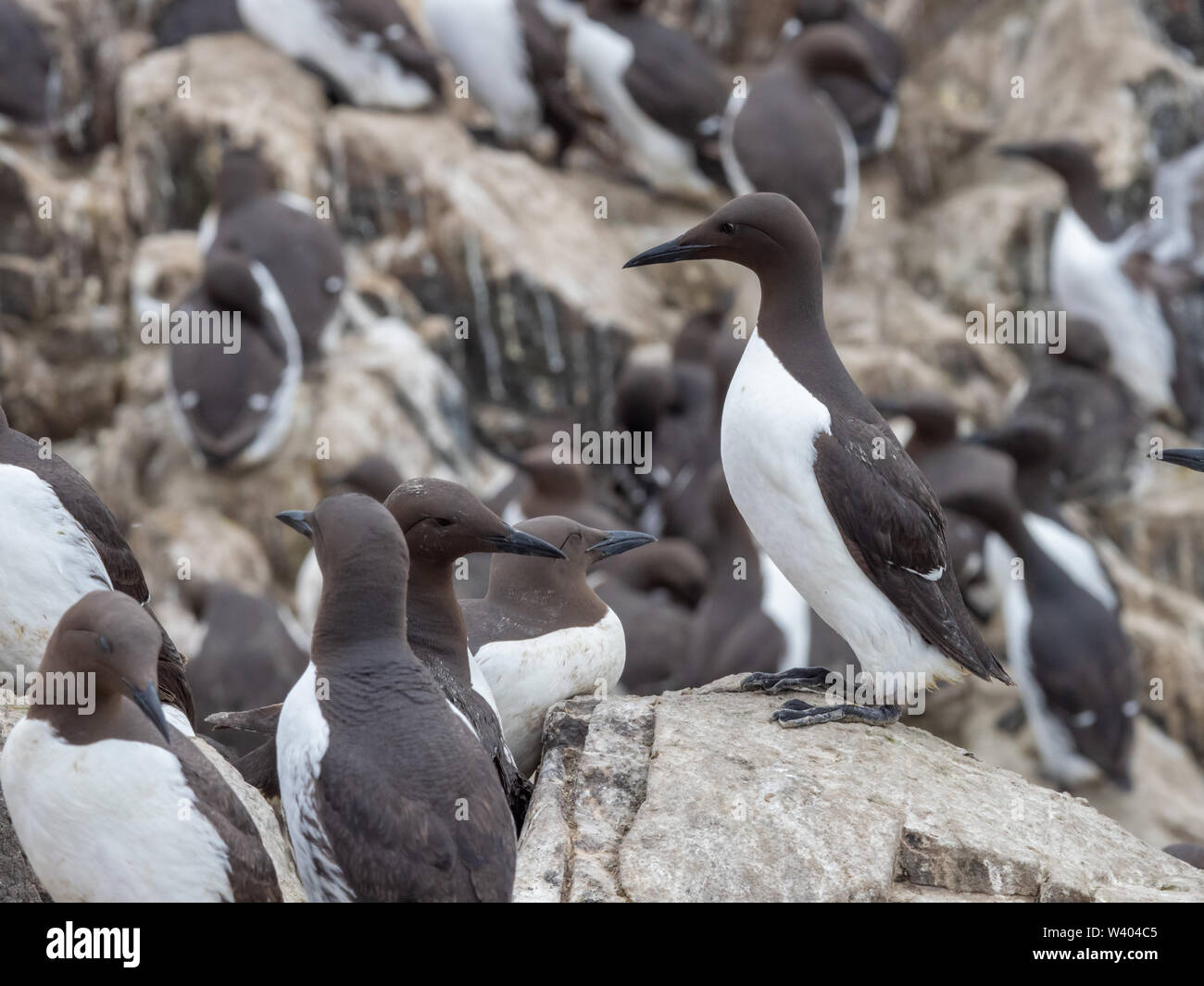 Colony of Guillemots (Uria aalge) on a rock. - Stock Image