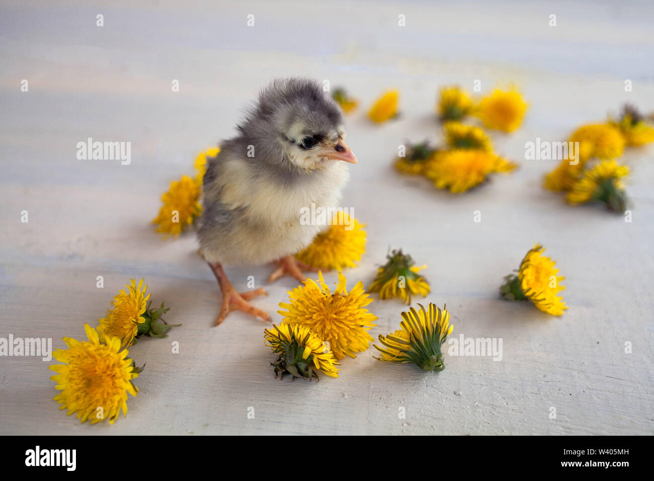 Chick of gray color of breed of dominants costs among yellow dandelions - Stock Image