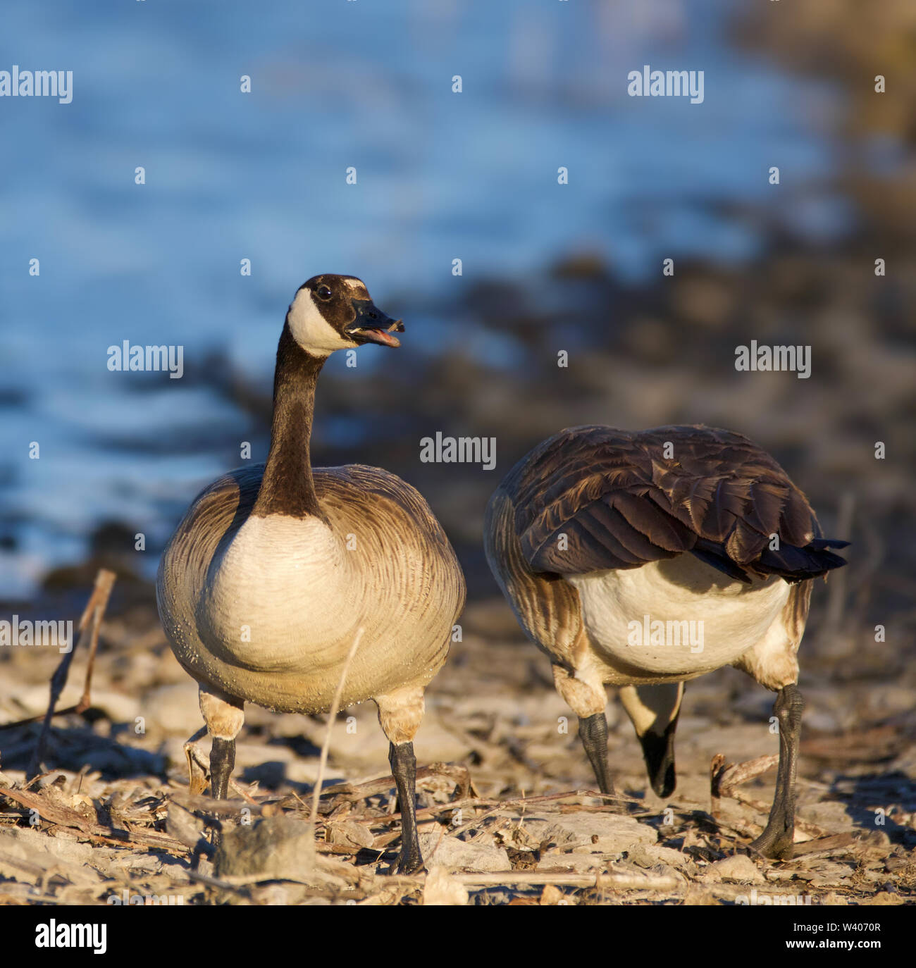 Two Geese on the Lakeshore - Stock Image