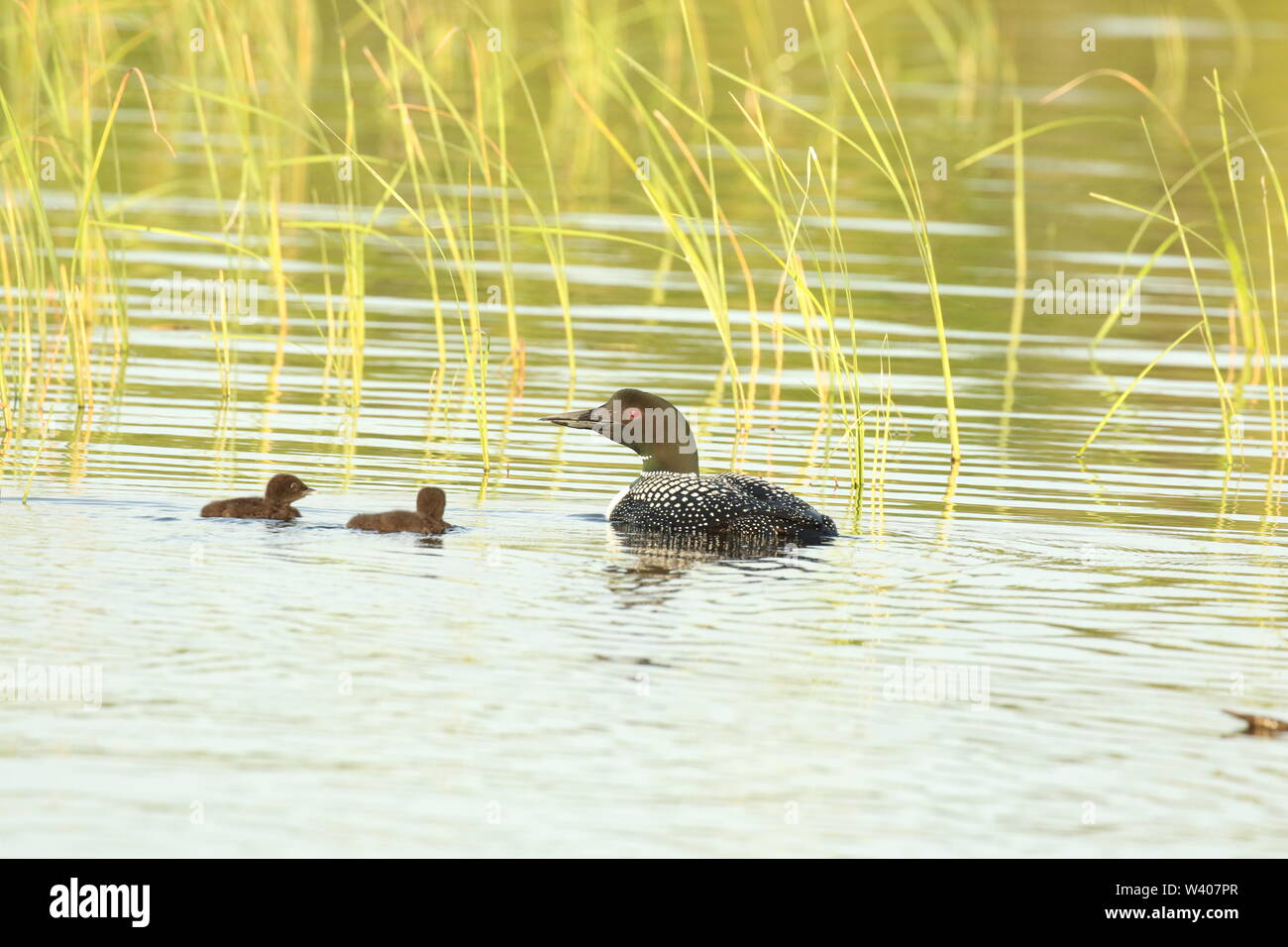 Common loons on lake in Eastern Ontario, Canada - Stock Image