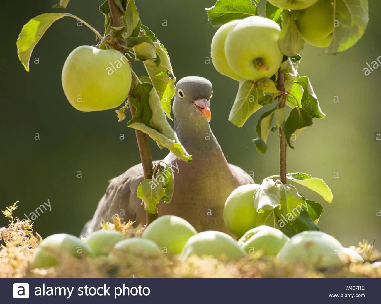 wood pigeon is standing between apple branches - Stock Image