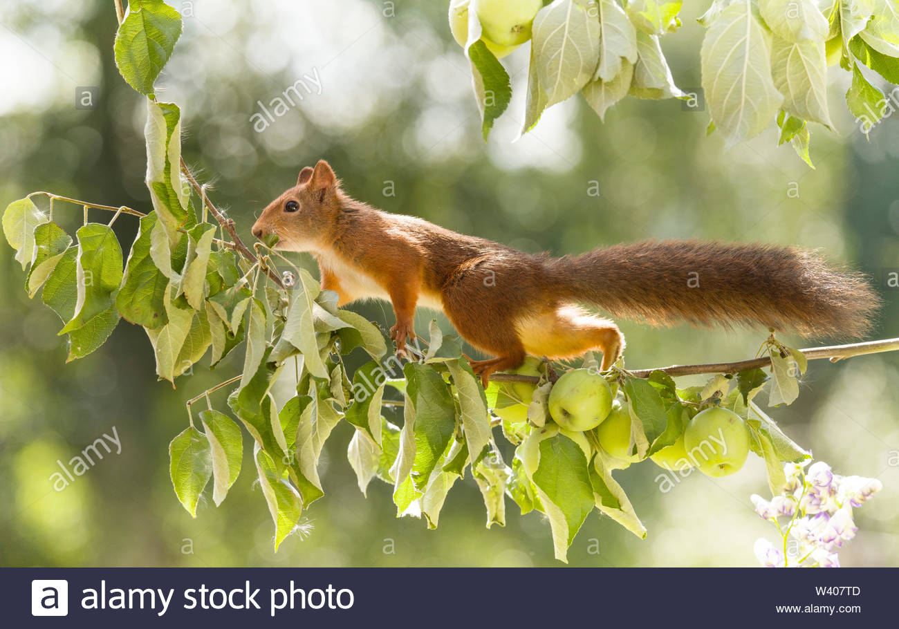 red squirrel is walking on apple branches - Stock Image