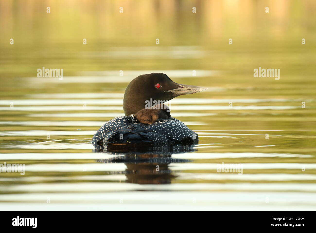 Common loon chick on Mom's back on a remote lake in Eastern Ontario, Canada. - Stock Image